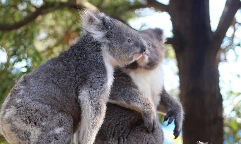 Primul pui de Koala născut după incendiile devastatoare din Australia