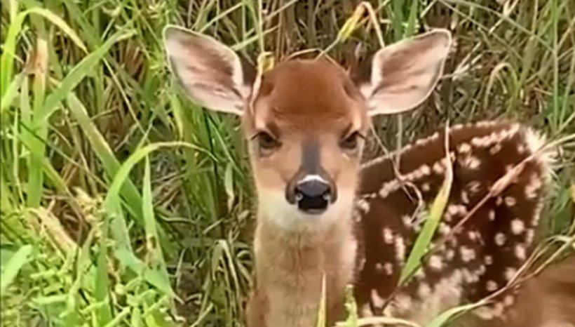 Un pui de cerb pierdut își cheamă mama într-o pădure din Parcul Național Semenic. Imaginile sunt înduioșătoare