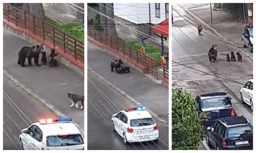 Ursoaică cu pui, pe străzile din Bușteni. Oamenii s-au apropiat de ei fără să țină cont de pericol