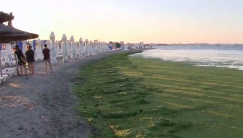 Staţiunea Mamaia, invadată de mormane de alge: ''Am strâns 3.000 de tone!''