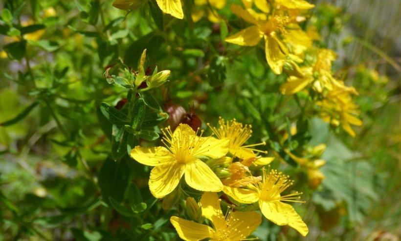 Planta-miracol care reduce inflamațiile și durerea. Are și efect antidepresiv!