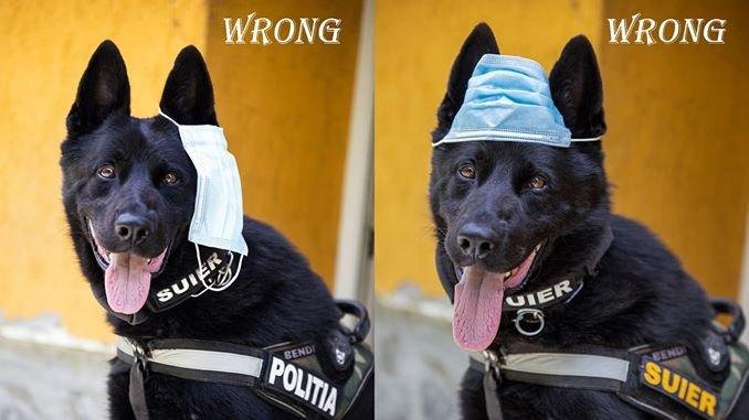 Imagini virale cu Şuier, câinele vedetă al Poliţiei Române! Ne învaţă cum se poartă corect masca de protecţie