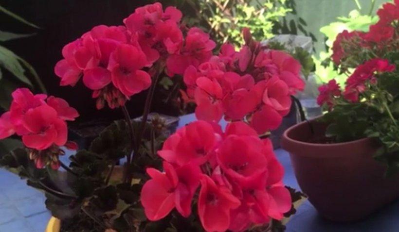 Aveți mușcate în casă? Efectele nebănuite pe care aceste flori le au asupra organismului uman. Ce au descoperit cercectătorii