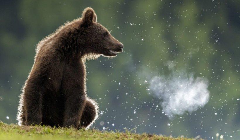 O ursoaică cu trei pui a furat actele și banii unui turist la lacul Sfânta Ana