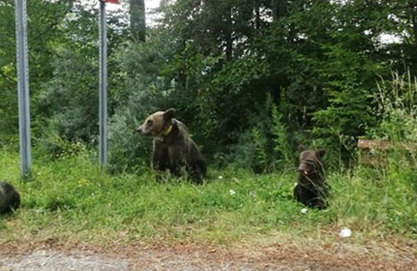Apel la 112: E o ursoaică cu trei pui, în zona Vidraru! Ce au găsit jandarmii argeşeni la fața locului