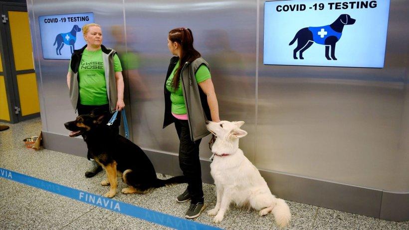 Natura bate tehnologia: câinii pot detecta COVID-19 cucinci zile înainte să apară simptomele clinice!