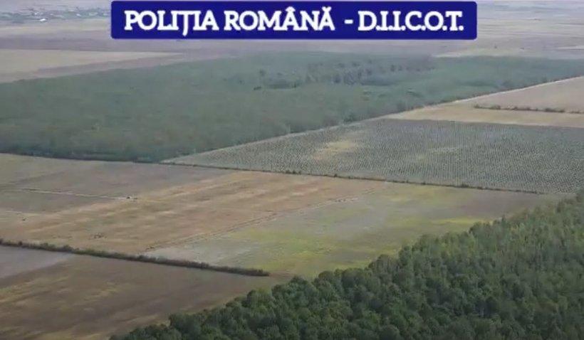 Doi bărbați au semănat șase hectare de canabis, în Morteni, Dâmbovița