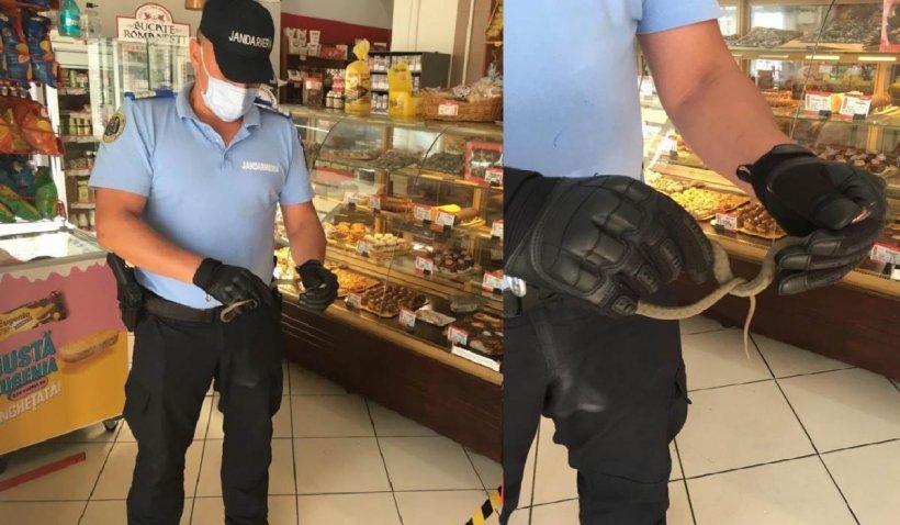 Şarpe scos de jandarmi dintr-un magazin alimentar din Constanța. Stătea ascuns în raftul cu savarine