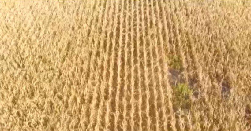 Soiul hibrid LG 31.390, o soluţie adaptată climatic pentru cultivatorii români de porumb