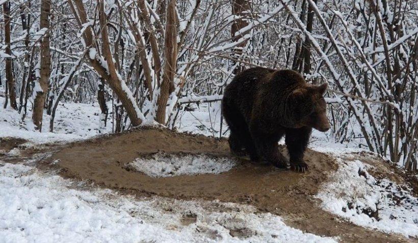 """Ursoaica Ina """"trăieşte"""" într-o cuşcă imaginară, după 20 de ani petrecuţi la grădina zoologică din Piatra Neamţ"""