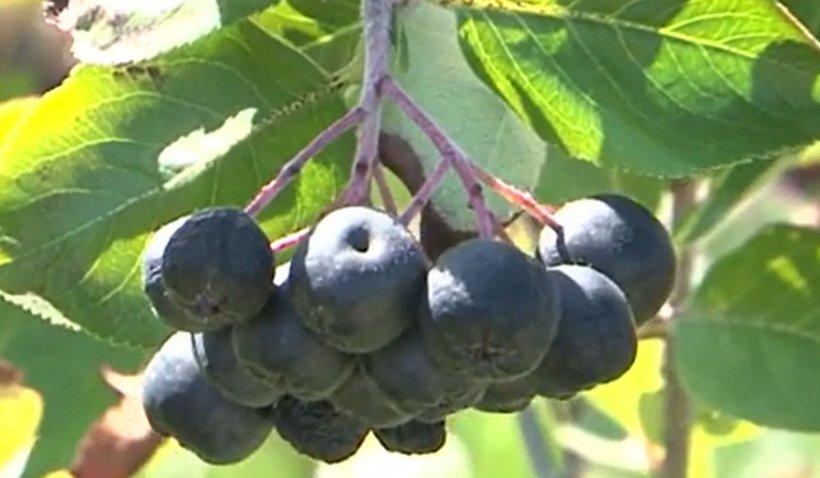 Aronia, fructul anticancer produs şi în România, testat de cercetătorii germani pentru tratament COVID-19   VIDEO