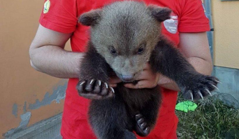 """Un pui de urs orfan a fost salvat de la moarte, în Harghita: """"Nu putem spune nu putem sau nu vrem"""""""