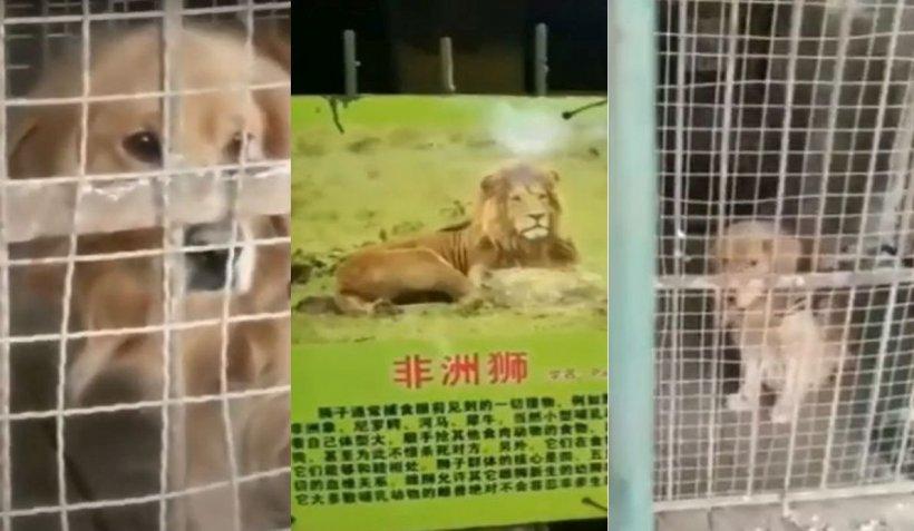 Paradox într-o grădină zoologică din China. Leul african s-a transformat într-un căţeluş golden retriever într-o cuşcă prea mare
