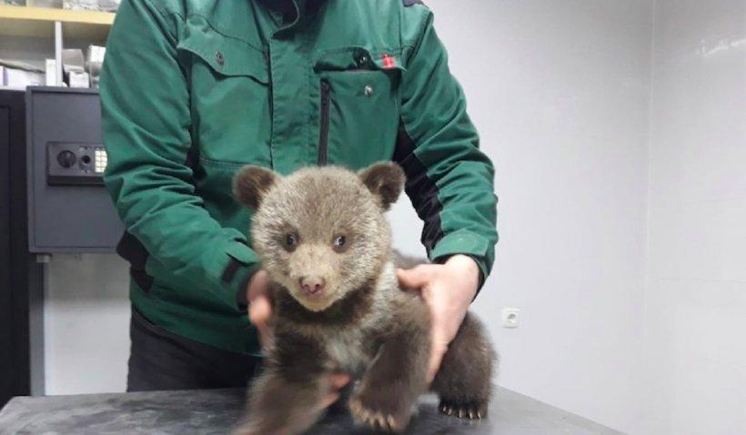 """ONG din Sibiu, amendat cu 10.000 de lei de Garda de Mediu după ce a salvat doi pui de urs: """"Noi ne bucurăm că cele două ghemotoace sunt pe mâini bune"""""""