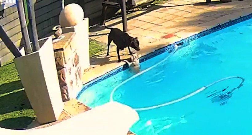 Câine Amstaff filmat în timp ce își salvează prietenul de la moarte, după ce a căzut într-o piscină