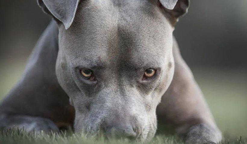 Mai mulți oameni și animale au fost atacaţi de un câine Pitbull agresiv lăsat nesupravegeat pe o stradă din Năsăud