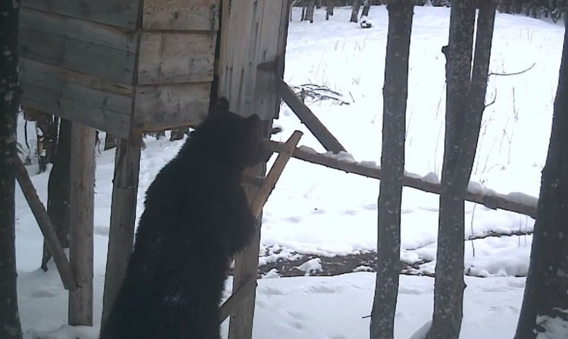 Urs tânăr şi flămând surprins la furat, într-un Ocol Silvic din Caraş-Severin. A insistat până a reuşit să plece cu prada