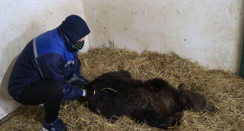 Puiul de urs orfan, salvat de la moarte în Harghita, va fi relocat în sanctuarul Libearty din Zărneşti