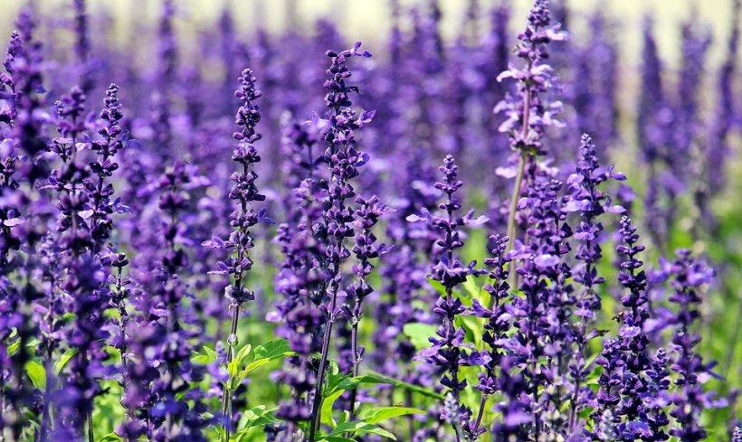 Violetele – semnificații, legende, istorie si cum le îngrijim