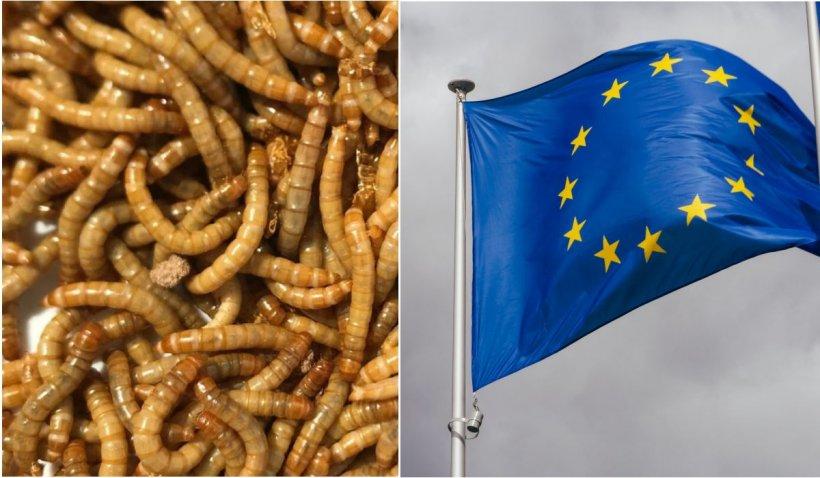 Viermii galbeni de făină, aprobaţi ca aliment în Uniunea Europeană. Trebuie să fie uscaţi