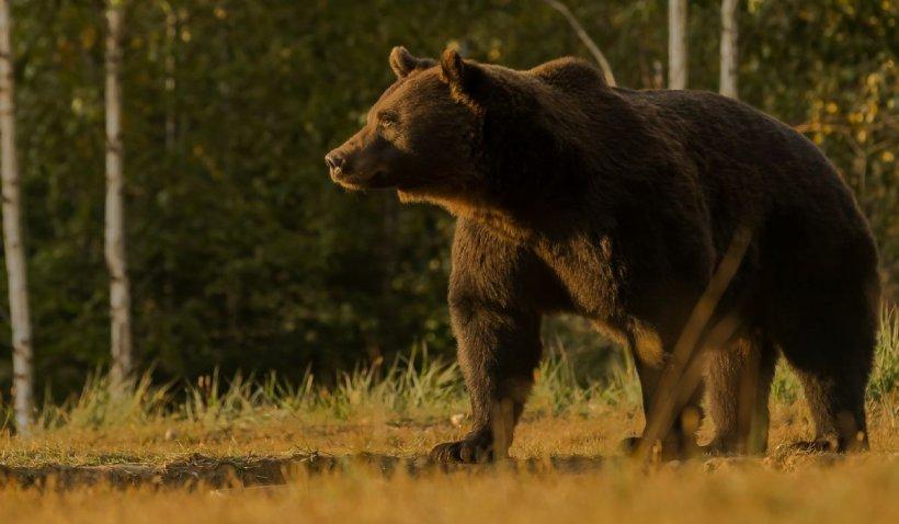 """Ministrul Mediului, despre ursul Arthur împuşcat de un prinţ: """"A primit derogare, însă nu ştim dacă ursul este cel menţionat în document"""""""