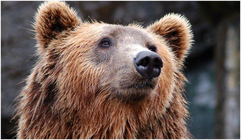 """Arthur, """"Regele urşilor"""" din România, în presa internaţională"""