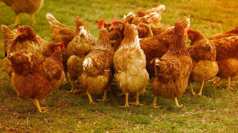 Focar de gripă aviară la o fermă de păsări din judeţul Mureş