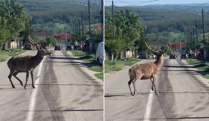 """Cerb impresionant, filmat într-un sat din Gorj: """"Aşa ceva nu vezi în fiecare zi"""""""
