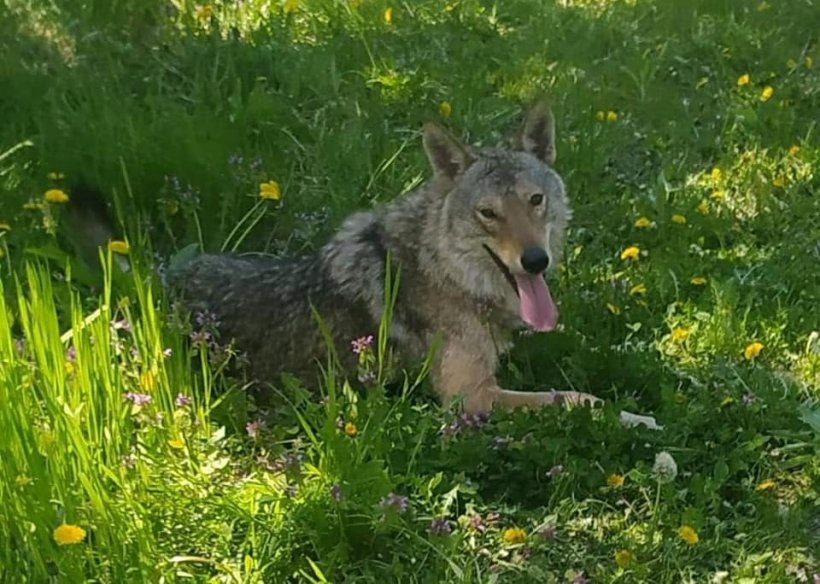 Aventura lupului Dany, evadat de la o grădină zoologică din Dăceni: A stat la coadă la Poștă, s-a plimbat cu copiii şi a furat o găină