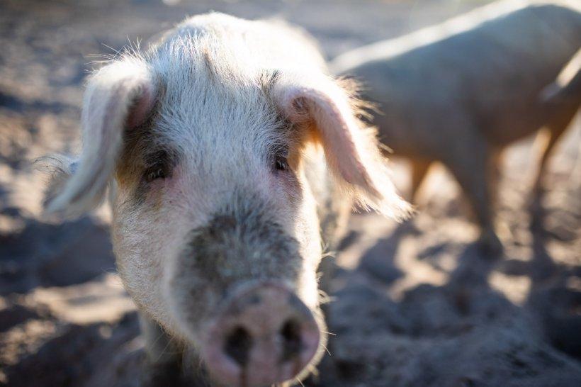 Pesta porcină africană, confirmată într-o fermă din Bistrița-Năsăud