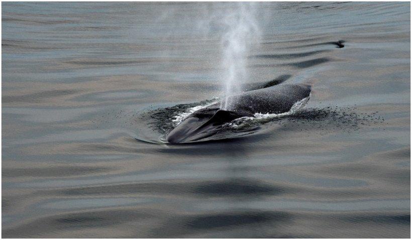 Un distrugător australian a sosit în San Diego cu două balene moarte prinse de carenă