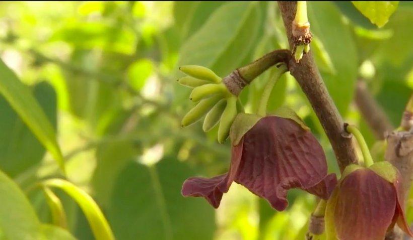 Românii au început să cultive fructe exotice: Kiwi, curmalele, kaki, bananele sau smochinele, cresc acum și în țara noastră