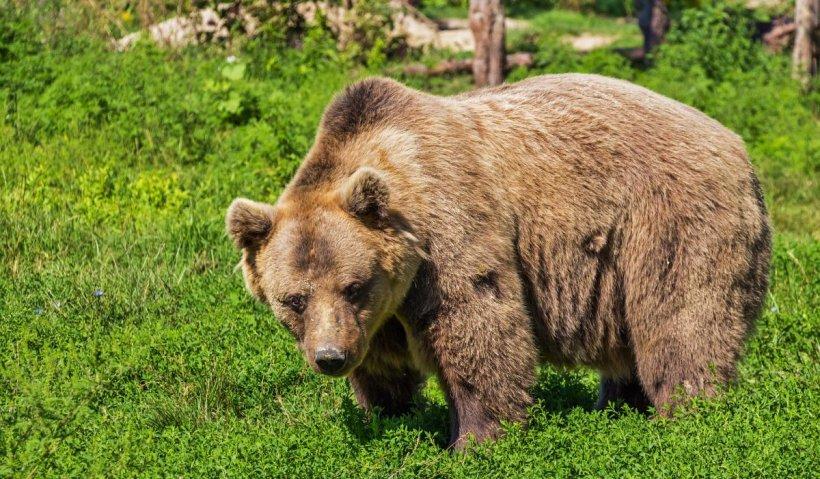 Clipe de panică: urs, surprins plimbându-se în centrul unei staţiuni montane