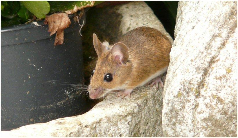 Australia, invadată de milioane de şoareci