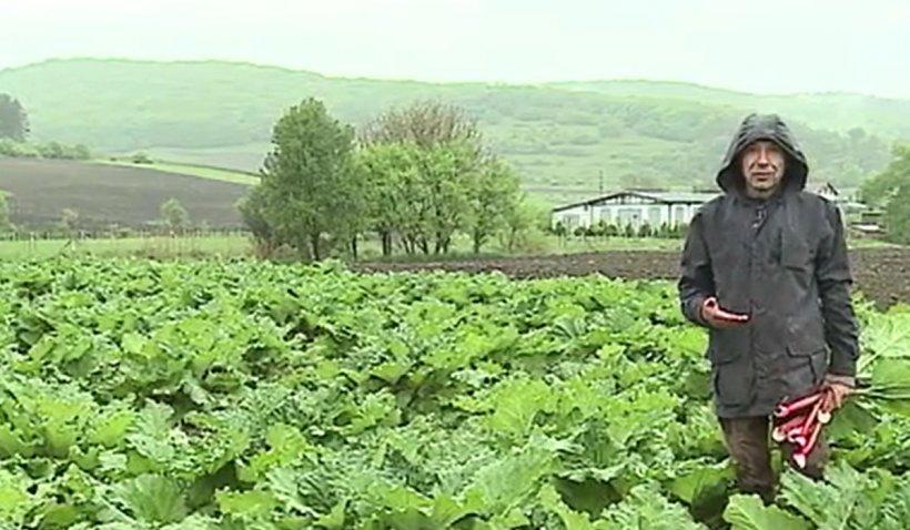 Un sociolog a înfiinţat cea mai mare cultură de rabarbură din România