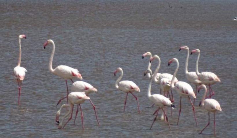 Imagini inedite cu un grup de păsări flamingo, care fac popas pe lacul Nuntași, în drumul lor spre Delta Dunării