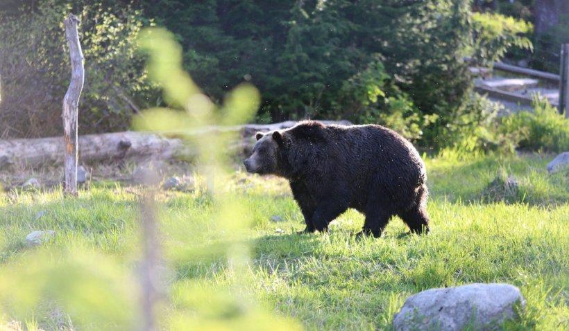 """Patru urși și-au făcut culcuș în mijlocul unei localități din Vrancea: """"Au ajuns să intre chiar și în bucătăria unui localnic"""""""