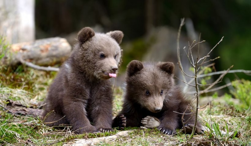 Doi pui de urs au murit de foame pe munte, în zona Fântâna lui Ioan