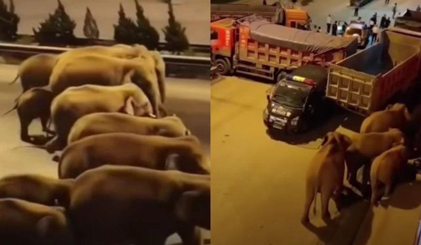O turmă de elefanți a provocat daune de peste un milion de dolari, după o călătorie de 500 de km, în China