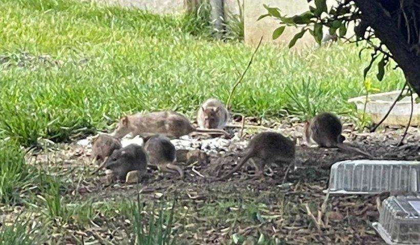 După gunoaie, au apărut și rozătoarele în Sectorul 1. Invazie de șobolani în zona teraselor din parcul Herăstrău