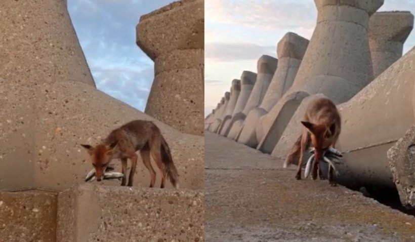 """Vulpe filmată în timp ce """"culege"""" pești de pe digul din Portul Constanța: """"I-ai scăpat, ce-ai făcut?"""""""