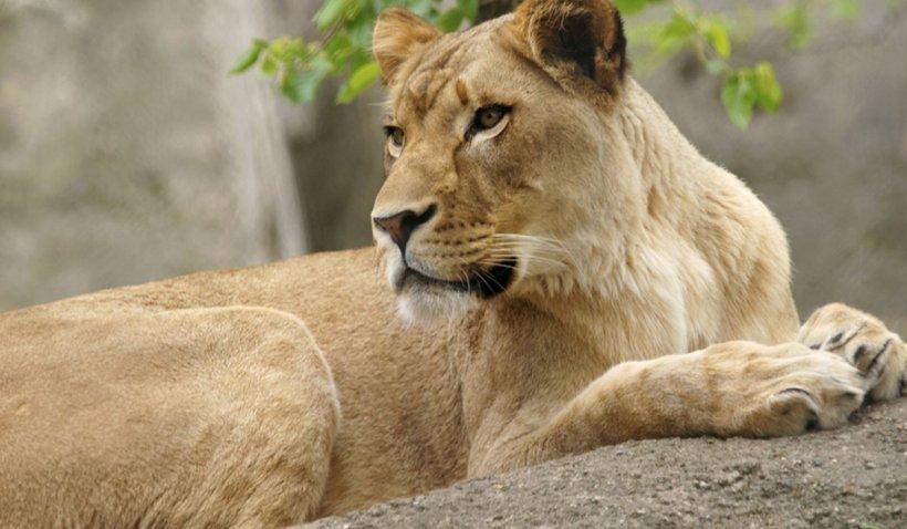 O leoaică a murit de COVID-19 într-un parc zoologic din India. Alți opt lei sunt infectați