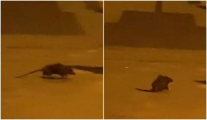 Sectorul 1, plin de gunoaie. Imagini cu șobolanii care se plimbă prin București