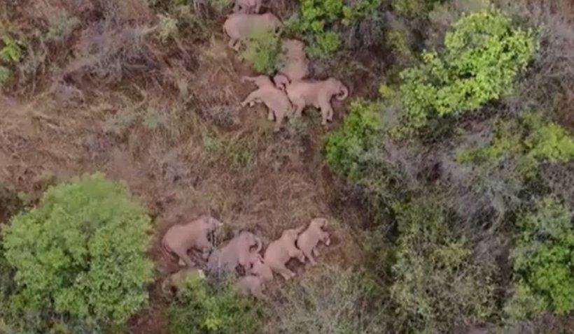Turma de elefanți care a călătorit peste 500 de kilometri în China s-a odihnit pentru prima dată în 12 zile. Somnul elefanților a fost surprins de o dronă