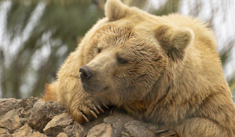 """Prima apariție a unei ursoaice în Galați:  """"Eu nu ştiu în secolul nostru să fi fost urşi în libertate în județ"""""""