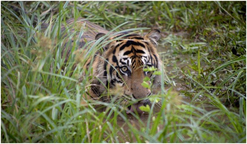 India închide rezervațiile de tigri pentru turiști după apariția unui focar de COVID-19 la zoo