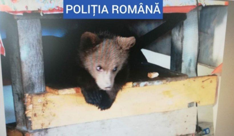 Ursoaică de patru luni găsită în curtea unui Maramureșean, împreună cu alte 40 de kg de carne de urs