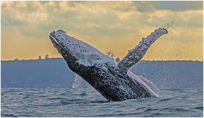 """Un scafandru s-a salvat miraculos după ce a fost înghițit de o balenă: """"Dintr-o dată am simțit această lovitură puternică și totul s-a întunecat"""""""