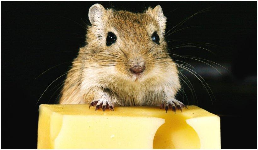 Speranță de viață prelungită cu 23% pentru șoarecii modificați genetic. Tratamentul ar putea fi folosit în viitor și la oameni