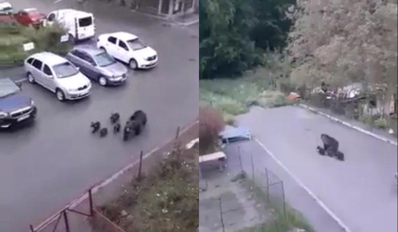 O ursoaică cu patru pui, surprinși la plimbare în timpul zilei pe străzile din Bușteni